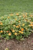 Portulaca - Tangerine Stock Images
