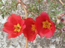 Portulaca, três flores vermelhas em seguido imagens de stock