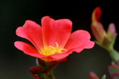 Portulaca umbraticola is a summer flowering Royalty Free Stock Image
