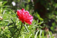 Portulaca vermelho no jardim Foto de Stock Royalty Free