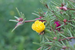 Portulaca yellow flower bud Stock Photography