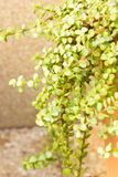 Portulacaria Afra - Elephant Bush. Royalty Free Stock Photography