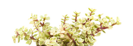 Portulacaria afra isolated Royalty Free Stock Photo