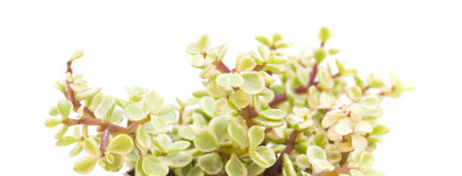 Portulacaria afra isolated Royalty Free Stock Photos