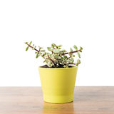 Portulacaria Afra succulent Royalty Free Stock Images