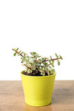 Portulacaria Afra succulent Royalty Free Stock Image