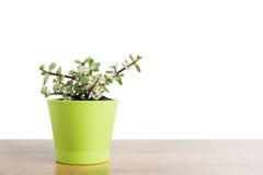 Portulacaria Afra succulent Stock Photo