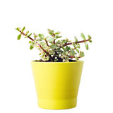 Portulacaria Afra succulent Stock Photos