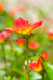 Portulacaria oleracea. Is science name Stock Images
