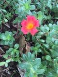 Portulace grandiflora Στοκ φωτογραφίες με δικαίωμα ελεύθερης χρήσης