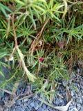 Portulace grandiflora Photos libres de droits