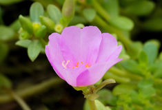 Portulaka pospolity kwiat Obraz Stock