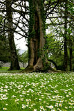 Portumna forest park Royalty Free Stock Photo