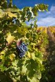 Portweintrauben auf Weinberg lizenzfreies stockfoto