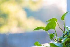 Poruszającego charakteru domu roślina na osłoniętym w ganeczku Fotografia Stock