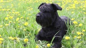 Poruszający kamera materiał filmowy Gigantyczny Czarny Schnauzer pies zbiory