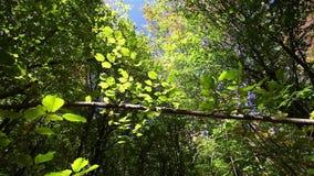 Poruszający konar w lesie z kolorowymi liśćmi zdjęcie wideo