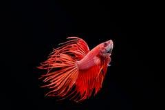 Poruszający moment duża uszata siamese bój ryba zdjęcia stock