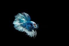 Poruszający moment duża uszata siamese bój ryba fotografia royalty free