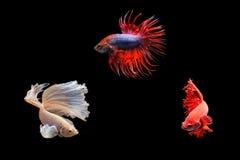 Poruszający moment siamese bój ryba odizolowywająca Zdjęcia Stock