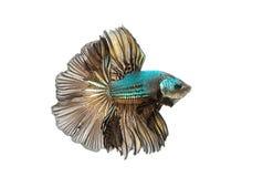 Poruszający moment siamese bój ryba odizolowywająca Obraz Royalty Free