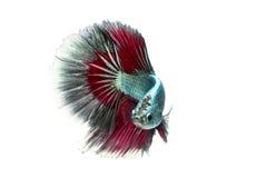 Poruszający moment siamese bój ryba odizolowywająca Obraz Stock