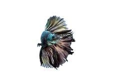 Poruszający moment siamese bój ryba odizolowywająca Obrazy Royalty Free