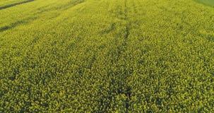 Poruszający nad żółtym kwiatu polem w letnim dniu naprzód Europa Włochy natury głąbika anteny plenerowy zielony establisher 4K zbiory