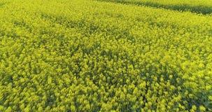Poruszający nad żółtym kwiatu polem w letnim dniu naprzód Europa Włochy natury głąbika anteny plenerowy zielony establisher 4K zdjęcie wideo