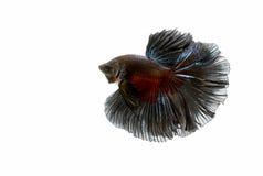 Poruszający moment siamese bój ryba Zdjęcie Royalty Free