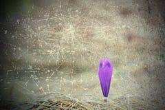 Porysowany abstrakcjonistyczny widok purpurowy szafran fotografia royalty free