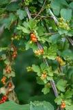 Porzeczkowa roślina z dojrzałymi czerwonymi owoc, Ribes petraeum Wulfen od Grossulariaceae rodziny, zdjęcia stock
