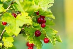 Porzeczkowe jagody z liśćmi Obrazy Stock