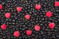 Porzeczkowy czerń, wiśnia, malinki Jagody tło Świeży organicznie rodzynek od wioska ogródu Rodzynek organicznie Obrazy Royalty Free