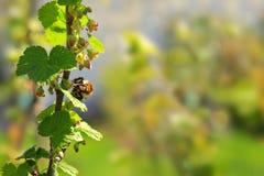 Porzeczkowy kwiat i bumblebee Zdjęcie Royalty Free