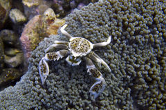 Porzellan-Krabbe lebt in der Seeanemone weg von der Feldgeistlichen Burgos, Leyte, Philippinen zusammen Stockfotografie