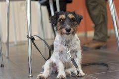 Posłuszni Jack Russell psa ist siedzi pod krzesłem fotografia stock