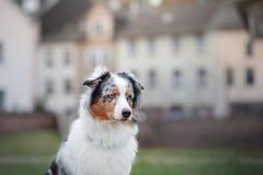 Posłuszny pies na ulicie, Europa, stary miasto aussies obrazy stock