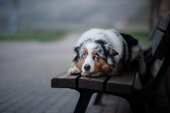 Posłuszny pies na ulicie, Europa, stary miasto aussies zdjęcia royalty free