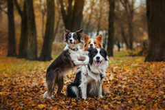 Posłuszny psi traken Border collie Portret, jesień, natura, sztuczki, trenuje Zdjęcia Stock