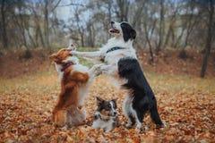 Posłuszny psi traken Border collie Portret, jesień, natura, sztuczki, trenuje Zdjęcia Royalty Free