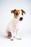 Posłuszny Jack Russell Terrier Zdjęcie Stock