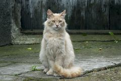 Posa arancione-chiaro sveglia del gatto immagine stock