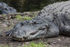 Posa degli alligatori americani per la macchina fotografica Fotografie Stock