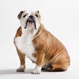 Posa del bulldog Fotografia Stock