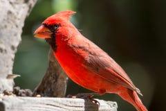 Posa del cardinale Immagine Stock