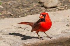 Posa del cardinale Fotografia Stock