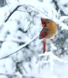 Posa del cardinale Fotografia Stock Libera da Diritti