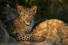 Posa del cucciolo del leopardo Immagine Stock