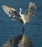 Posa del Egret Fotografia Stock Libera da Diritti